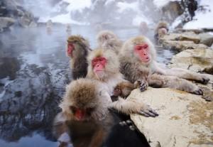 bigstock-Japanese-Snow-Monkeys